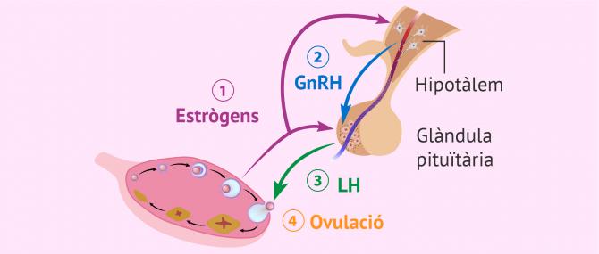 Imagen: Control hormonal de l'ovulació