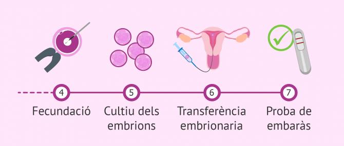 Imagen: Procés de FIV des de la fecundació fins a la transferència embrionària