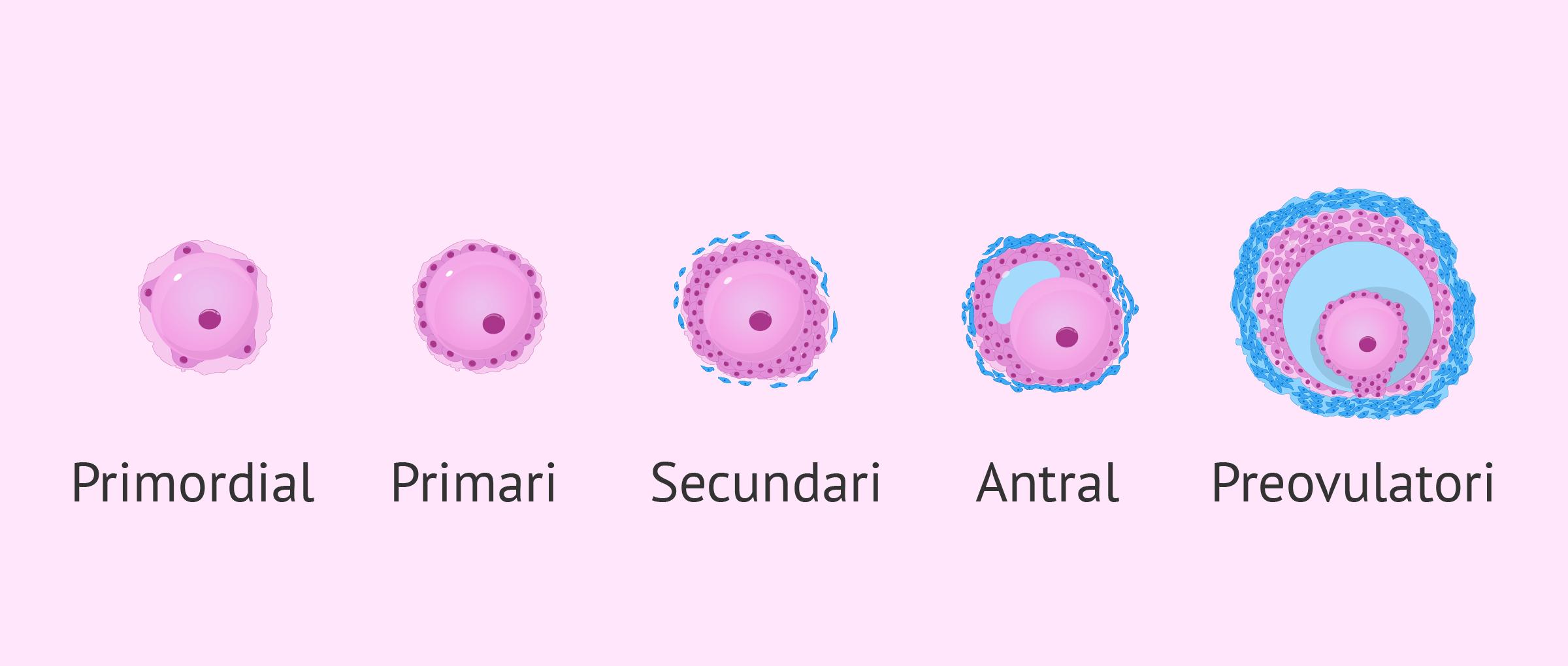Imagen: Desenvolupament dels fol·licles de l'ovari