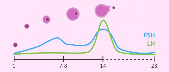 Imagen: Nivells de FSH i LH durant el cicle menstrual