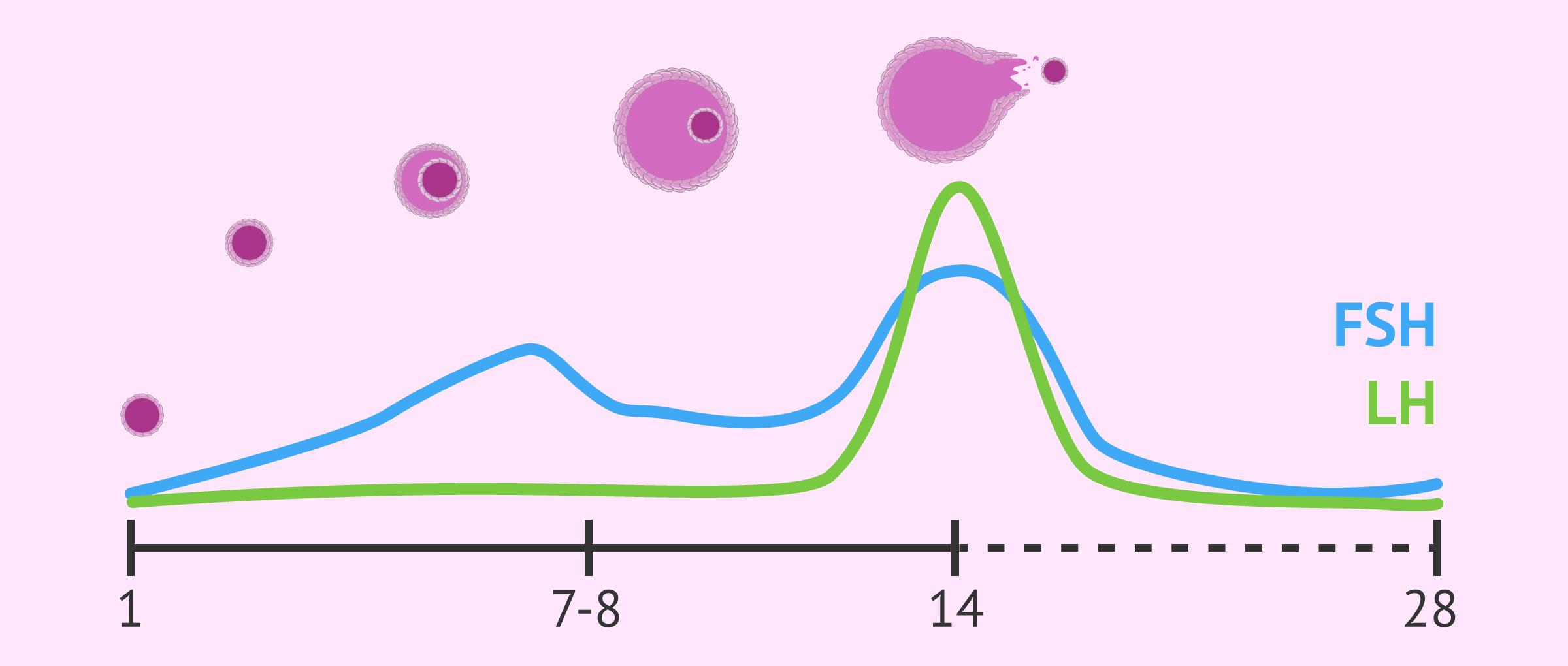 Nivells de FSH i LH durant el cicle menstrual